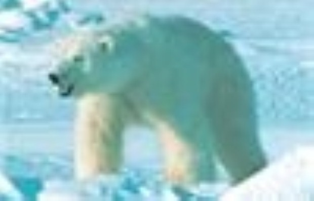 Polar Bear moving across the Arctic