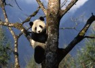 Get up close to the magnificent Giant Panda in China