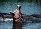 Hippos are some of the wild animals you can see in north-west Ghana