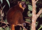 Lemurs are under threat from hunters and deforestation