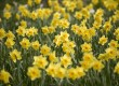 Daffodils are the national emblem of Wales