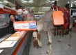 Kokoso the camel visited London Stansted Airport yesterday morning