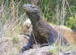 Komodo Dragons grow to 10 feet long