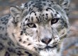 Search for the elusive snow leopards of Ladakh