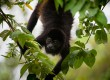 You'll find plenty of Howler monkeys in Costa Rica (photo: Evocation Images)