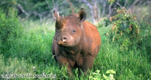 Rhinos are a big target for poachers in Africa