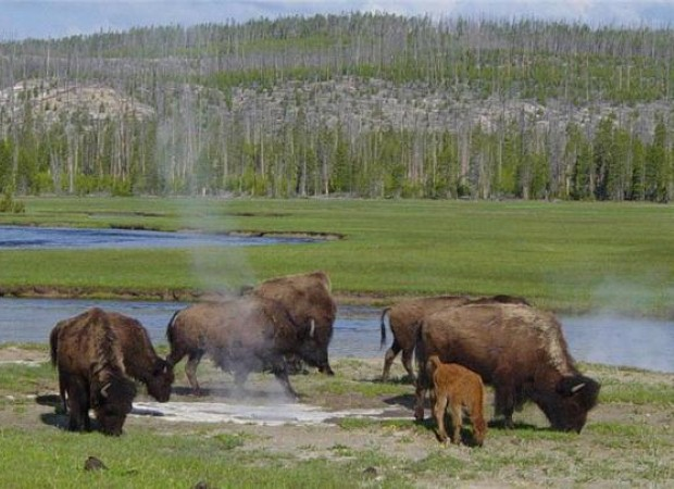 Yellowstone is a habitat for unusual wildlife