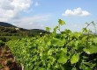 Discover Devon's vineyards