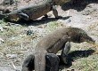 Discover Indonesia's Komodo dragons